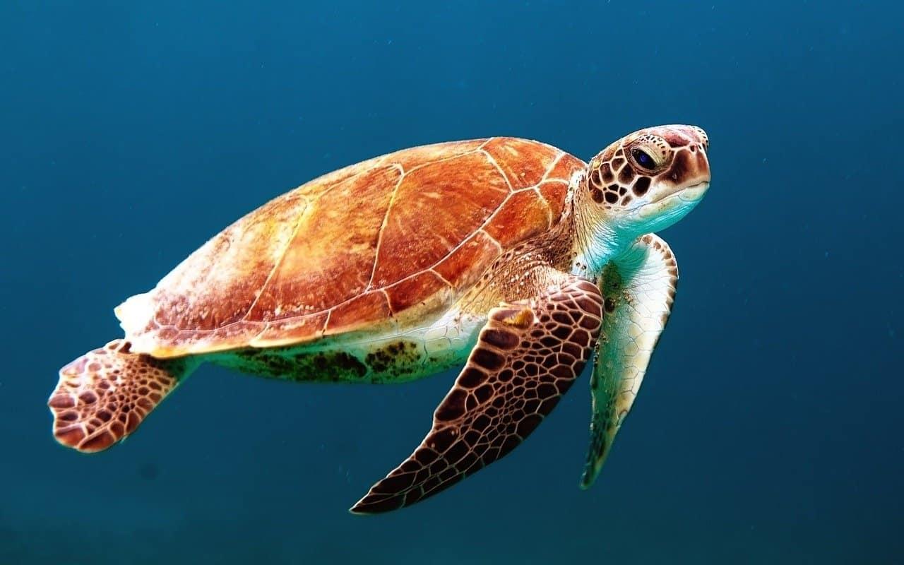 Turtles Barbados